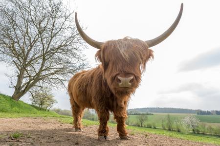 Scottish highland cattle on a pasture Stock Photo
