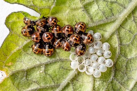 てんとう虫の幼虫の卵を溝加工 写真素材