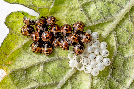 Slotting ladybug larvae with eggs