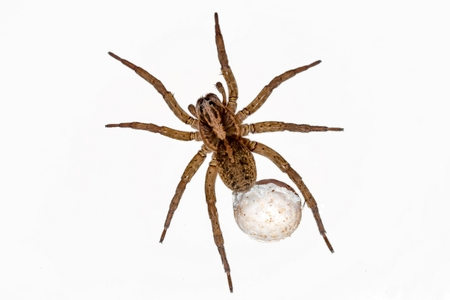 pisaura mirabilis: Spider with eggs on white background