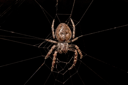 pisaura mirabilis: Spider in her web against black background Stock Photo