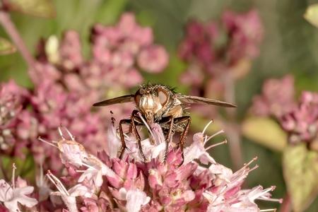 Fly sits on a pink marjoram blossom Zdjęcie Seryjne