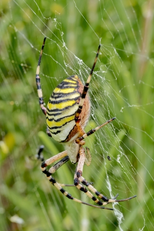 araneidae: Large wasp spider in a spiders web between meadows