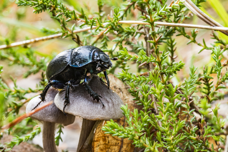 Black dung beetle crawls over a mushroom on the forest floor Stock Photo