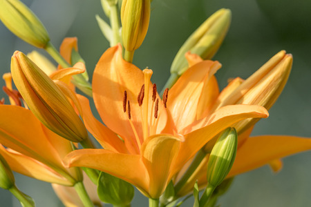 Yellow-eyed daylily blooming with buds in front of blurred background