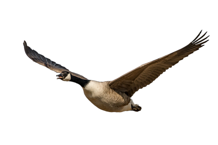 Flying and screaming Canada goose isolated on white Stockfoto