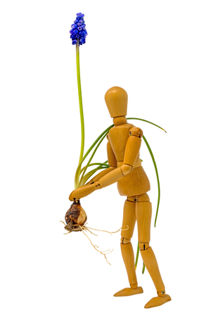 Complete grape hyacinth with petals and onion is carried by a wooden figure