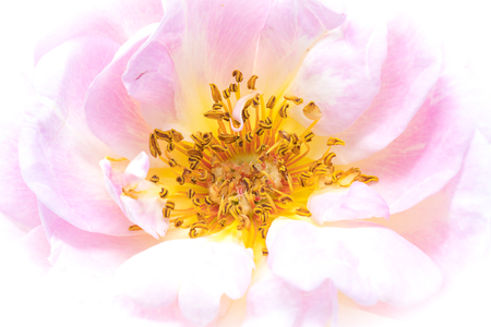 Close-up of a dog-rose blossom with pink petals and yellow pollen bags. Фото со стока