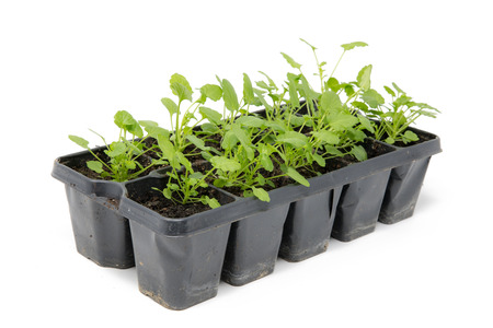 Several small herb plants in small plant pots isolated on white