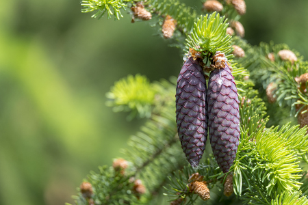 Young pine cones in front of blurred green background with copy space Imagens