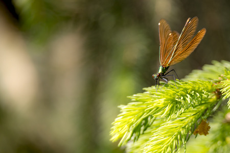 Bronze beautiful dragonfly sits on a fir tree against a brown background with copy space Imagens