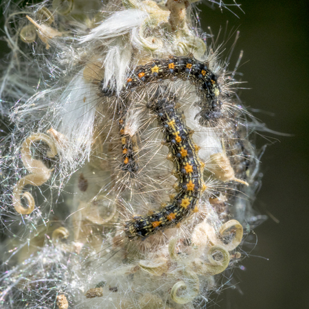 Several caterpillars of the gold-nosed moth crawls in their web on a flower.