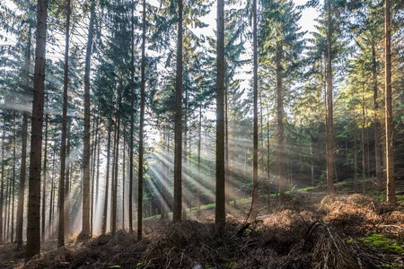 Sunrise in a coniferous forest with bright sunbeams Stock fotó