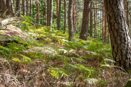 Wooded mountain slope with pines, ferns and blurred areas