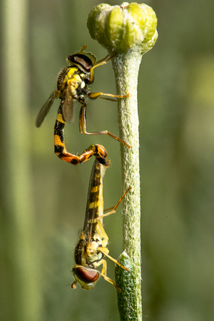Two hoverflies in mating on a flower stalk
