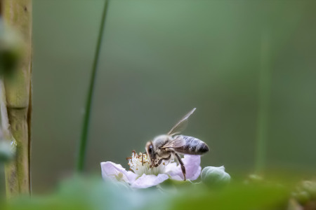 Soft-drawn honeybee on a purple blossom against blurred green background with copy space 版權商用圖片