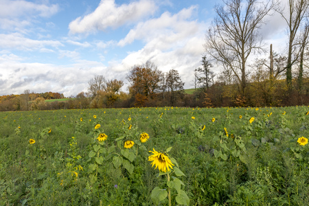 Harvested field with sunflowers as green manure planted with clouds in front of blue sky Standard-Bild - 116295322