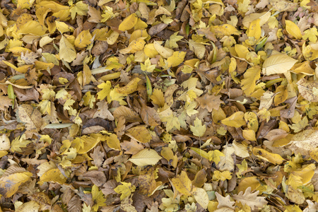 Autumnal colorful leaves of maple trees. Full frame as a background Standard-Bild - 116295327