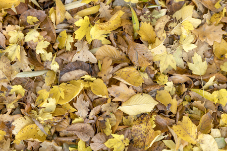 Autumnal colorful leaves of maple trees. Full frame as a background Standard-Bild - 116295332