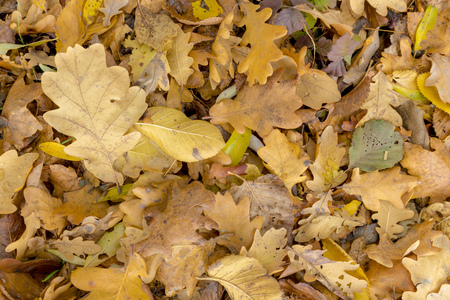 Autumnal colorful oak and beech leaves. Full frame as background Standard-Bild - 116295333