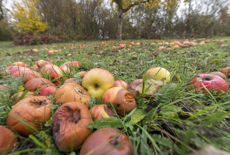 Old decayed apples are scattered on a meadow orchard in autumn Standard-Bild - 116295383