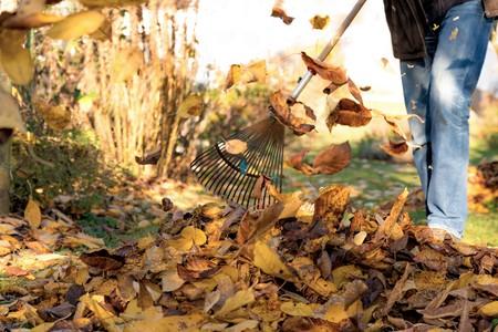 gather autumn leaves under a cherry tree in a garden Standard-Bild - 116295386