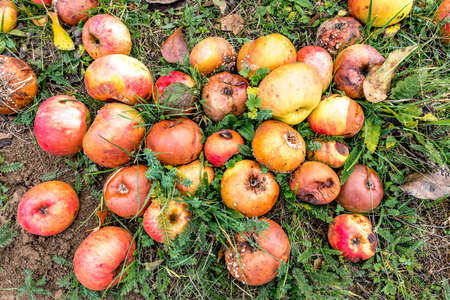 Old decayed apples are scattered on a meadow orchard in autumn Standard-Bild - 116295388