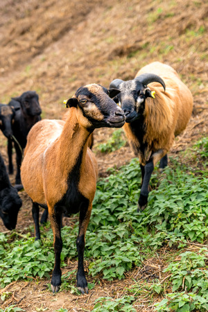 Two cameroon sheep (male and female) stand side by side in the pasture Standard-Bild - 116295389