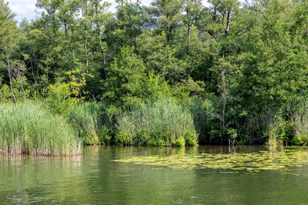 Wooded green shore of a lake with water lilies and reeds Standard-Bild - 116295396
