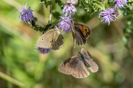 Three butterflies fly around a purple flower around against blurred background Standard-Bild - 116295398