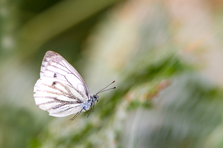 Flying white butterfly in front of blurred green background with copy space Standard-Bild - 116295399