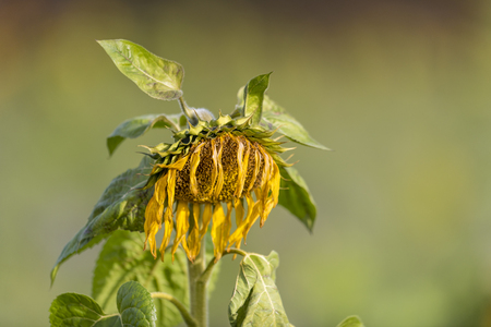 Yellow withered sunflower sadly leaves the flower head hanging in front of blurred green background Standard-Bild - 116295462
