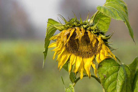 Yellow withered sunflower sadly leaves the flower head hanging in front of blurred green background
