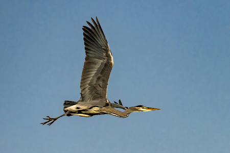 Flying gray heron after launch in front of blue cloudless sky Standard-Bild - 116295465