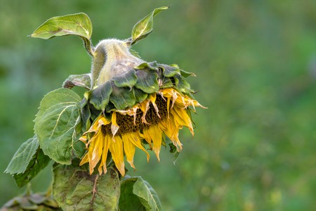 Yellow withered sunflower sadly leaves the flower head hanging in front of blurred green background Standard-Bild - 116295466