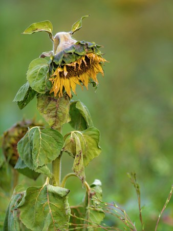 Yellow withered sunflower sadly leaves the flower head hanging in front of blurred green background Standard-Bild - 116295467