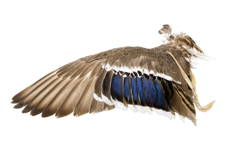 Wing of a mallard duck as an air fan in Indian or Esoteric area isolated on White Standard-Bild - 116295512