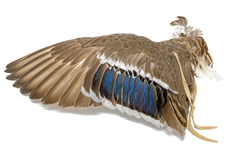 Wing of a mallard duck as an air fan in Indian or Esoteric area isolated on White Standard-Bild - 116295513