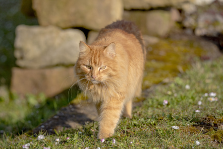 Portrait of an orange tabby domestic cat in front of blurred green background Standard-Bild - 116295518
