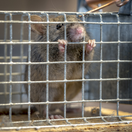 Little mouse sits trapped in a wire trap against blurred background Standard-Bild - 116295522