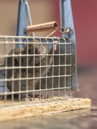 Little mouse sits trapped in a wire trap against blurred background Standard-Bild - 116295524