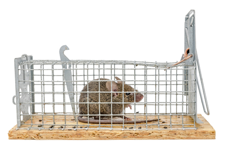 Little mouse sits trapped in a wire trap against blurred background Standard-Bild - 116295525