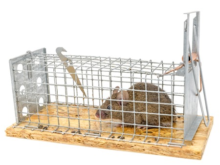Little mouse sits trapped in a wire trap against blurred background Standard-Bild - 116295527