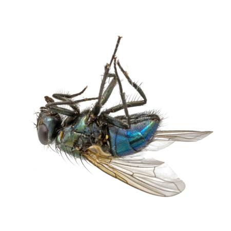 Close-up of a dead fly lying on its back. Standard-Bild - 116295559
