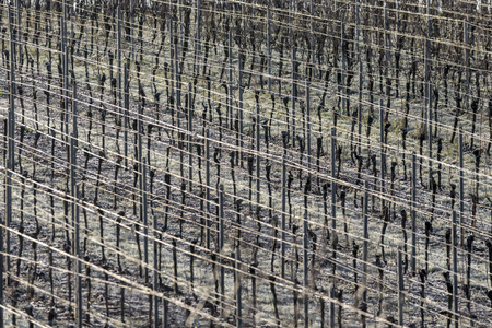 Vineyard with grapevines rows in frost with shiny wire ropes frame-filling as background Standard-Bild - 116295565