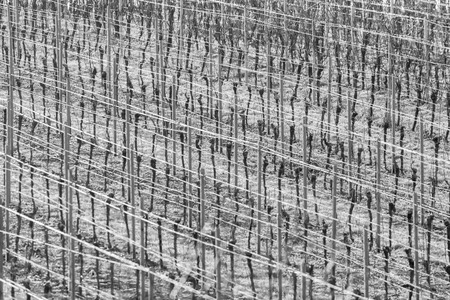 Vineyard with grapevines rows in frost with shiny wire ropes frame-filling as background monochrome Standard-Bild - 116295566