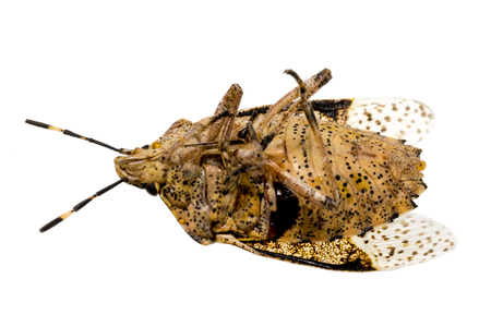 Closeup of a dead brown bug - cockroach isolated on white Standard-Bild - 116295570