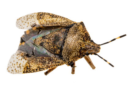 Closeup of a dead brown bug - cockroach isolated on white Standard-Bild - 116295571
