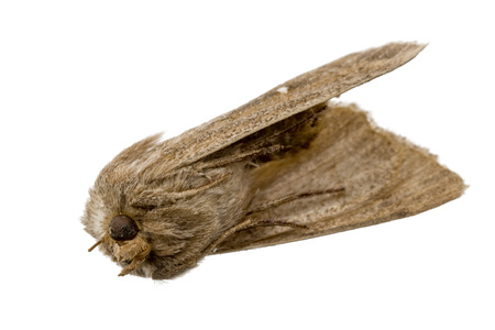 Dead brown moth lies on his back with his feet on, free on white Standard-Bild - 116295576