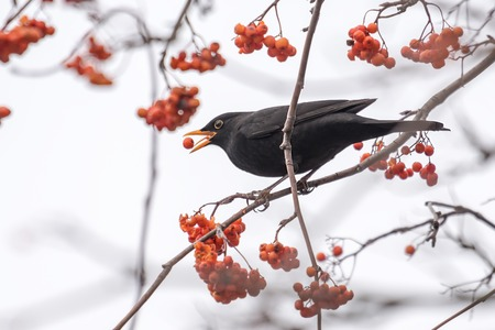 A blackbird sits on a branch and eats a red berry against a light background Standard-Bild - 116295577